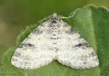 Powdered Bigwing Moth Lobophora nivigerata #7640