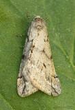 Spring Cankerworm Moth Paleacrita vernata #6662