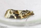Red-banded Leafroller Moth Argyrotaenia velutinana #3597