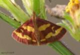 Pyrausta tryalis #5069