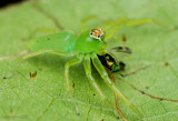 Magnolia Green Jumper - female Lyssomanes viridis