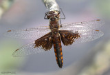 Mantled Baskettail Epitheca semiaquea