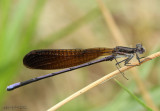 Variable Dancer - Argia fumipennis atra