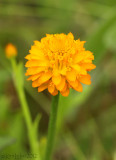 Orange Milkwort