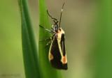 Packard's Lichen Moth Cisthene packardii #8072