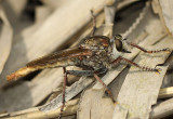 Robber Fly Proctacanthus brevipennis