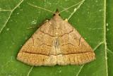 Early Zanclognatha Moth Zanclognatha cruralis #8351
