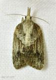 Tufted Apple Bud Moth Platynota idaeusalis #3740