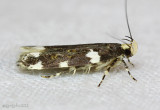 Redbud Leaffolder Moth Fascista cercerisella #2204