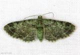 Green Pug Moth Pasiphila rectangulata #7625
