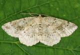 Pale Homochlodes Moth Homochlodes fritillaria #6812