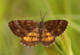 Cranberry Spanworm Moth Ematurga amitaria #6436