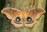 Polyphemus Moth Antheraea polyphemus #7757