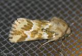 Mead's Flower Moth Schinia meadi #11175