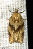 Orange Tortrix Moth Argyrotaenia franciscana #3612