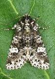 Hitched Arches Moth Melanchra adjuncta #10292