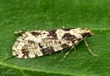 Morophagoides burkerella #0314