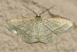 Soft-lined Wave Scopula inductata #7169