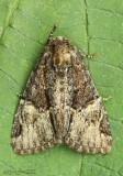Turbulent Phosphila Moth Phosphila turbulenta #9618