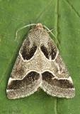Ragweed Flower Moth Schinia rivulosa #11135
