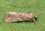 Fall Armyworm Moth Spodoptera frugiperda #9666