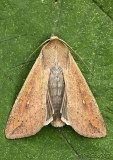 Armyworm Moth Mythimna unipuncta #10438