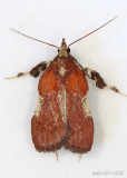 Boxwood Leaftier Galasa nigrinodis #5552