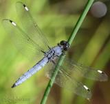 Spangled Skimmer Libellula cyanea