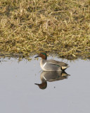 Green- winged Teal