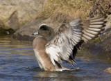 canard d amérique - american wigeon