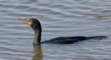 cormoran à aigrette - double-crested cormorant