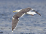 goéland marin - great black backed gull