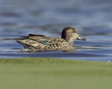 sarcelle dhiver green winged teal