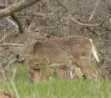 chevreuil - white tailed deer