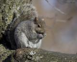 écureuil gris - gray squirrel