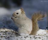 écureuil roux leucique - leucism red squirrel