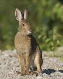 lièvre d amérique - north american hare