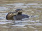 loutre de rivière - river otter