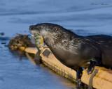 loutre de rivière  river otter
