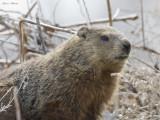 marmotte - woodchuck