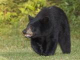 ours noir - black bear