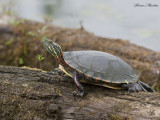 tortue peinte - painted turtle