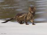 vison - mink
