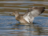 sarcelle d hiver - green winged teal