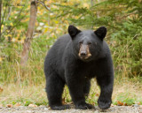 ours noir - black bear