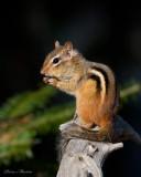 tamias rayé - eastern chipmunk