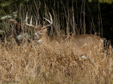 chevreuil - white tailed deer