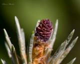 cone de pin