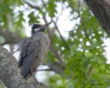 bihoreau violacé - yellow crowned night heron