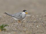 petite sterne - least tern